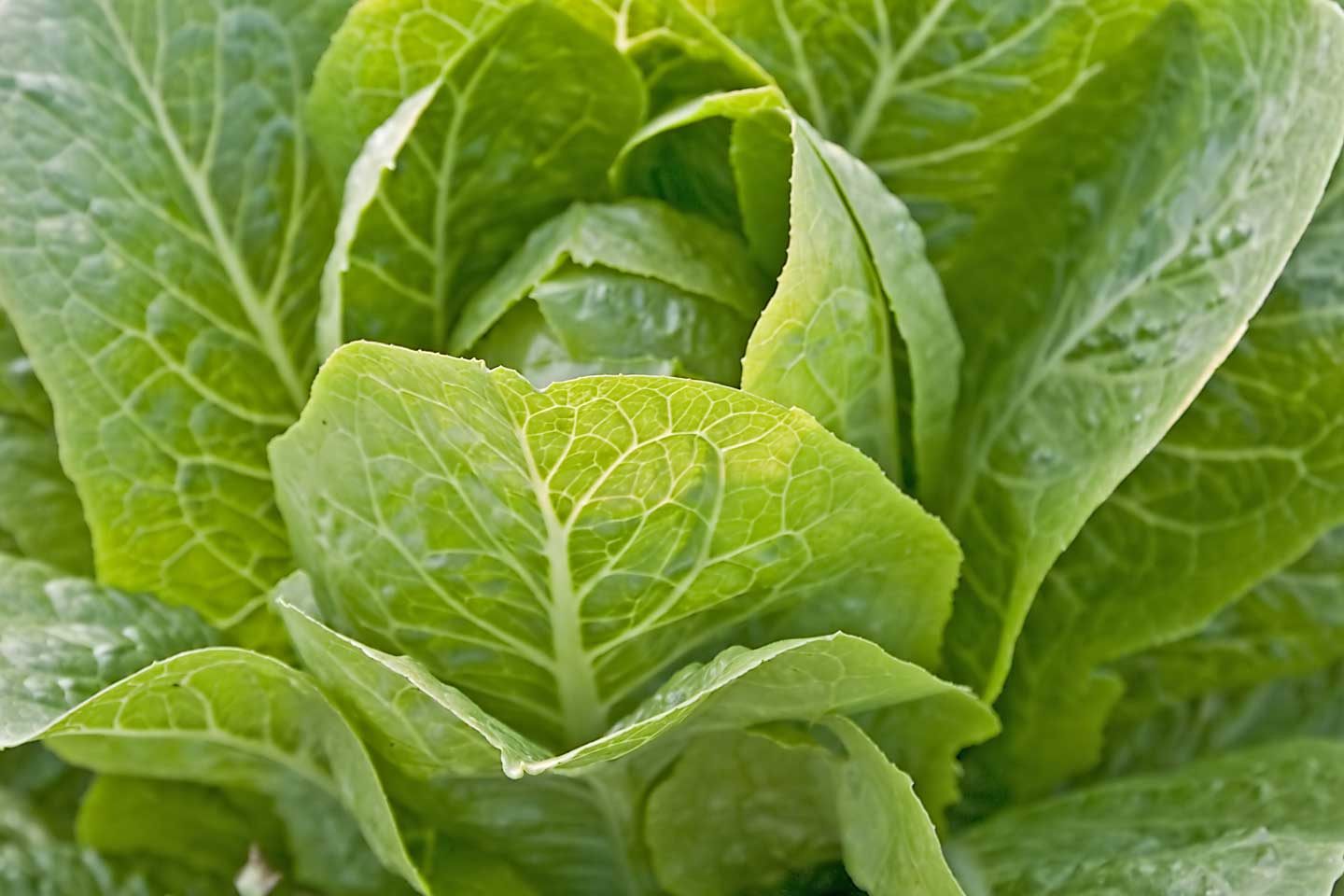 leafy vegetables image